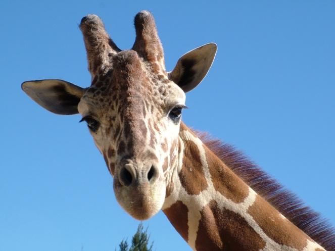 GiraffePatronus1